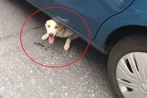 Băng qua đường đột ngột, chú chó bị kẹt lại dưới gầm ôtô