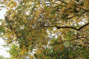 Người Hà Nội ngỡ ngàng trước hàng cây sưa hơn 20 năm tuổi bất ngờ rụng lá phủ kín đường phố ngày đầu thu
