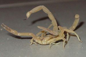 Bắt được bọ cạp 2 đuôi, người phụ nữ Trung Quốc xem nó là thú cưng