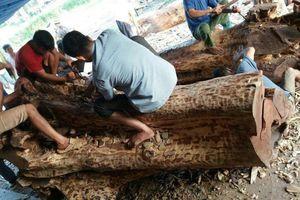 Sắp bán đấu giá hơn 6 tấn gỗ sưa trăm tuổi ở Hà Nội
