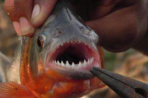 Loài cá 'ăn thịt người' piranha trở thành món ăn trên bàn tiệc