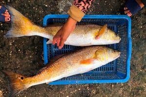 Quảng Bình: Giăng lưới bắt được 2 cá lạ nặng 7kg/con, nghi sủ vàng tiền tỷ