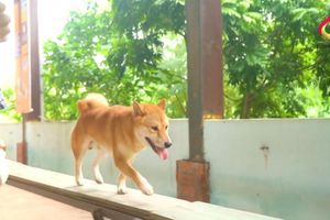Tranh cãi chó Shiba thành diễn viên chính của phim 'Cậu Vàng'