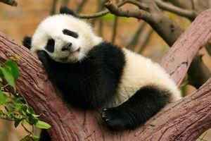 Một ngày 'ngáo ngơ' của những con gấu trúc Trung Quốc