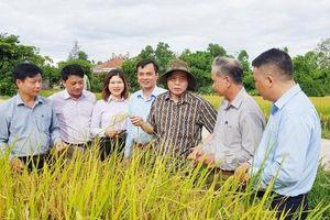 Thăm mô hình sản xuất lúa hữu cơ năng suất cao tại Quảng Trị