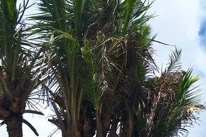 Dừa độc, lạ 14 ngọn được trả giá 180 triệu đồng