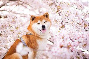 Nguyên do khiến chó ta 'ra rìa', vai 'Cậu Vàng' thuộc về chó Shiba (Nhật Bản)