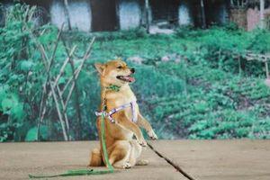 Lý do nhà sản xuất 'Cậu Vàng' chọn chó Nhật đóng phim cùng 'lão Hạc'