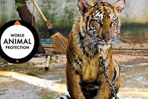 Vẫn nhiều người Việt 'sính' dùng sản phẩm từ hổ, sư tử dù thế giới lên án