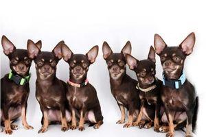 Chó chihuahua lập kỷ lục được nhân bản vô tính nhiều nhất thế giới