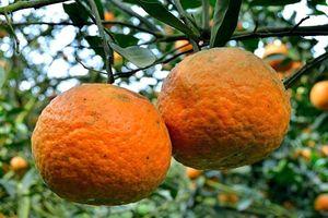 Nông dân trồng cam sành VIETGAP 'ăn nên làm ra' nhờ loại phân bón này