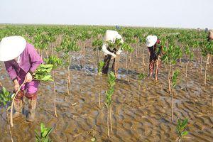 Gói thầu trồng rừng ngập mặn ở Thanh Hóa: Bên mời thầu 'bác' đơn tố thông thầu