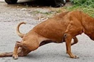 Bật cười hình ảnh chú chó giả què để xin ăn