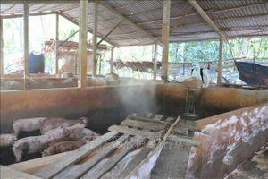Hèm rượu, hun khói mùn cưa không chữa được dịch tả lợn châu Phi