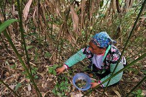 Sa nhân - cây xóa đói, giảm nghèo ở vùng cao Điện Biên