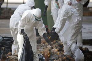 Ổ dịch cúm gia cầm H5N6 đầu tiên xuất hiện ở Bến Tre