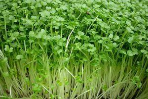 Mách mẹo trồng rau mầm bằng khăn giấy xanh mướt, giàu chất dinh dưỡng hơn thuốc bổ