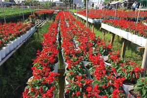 TP.Sa Đéc (Đồng Tháp) chuẩn bị hoa cho Tết Nguyên đán
