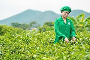 Tâm Trà Thái: Doanh nghiệp bảo tồn phát triển giống trà cổ trên vùng đất Tân Cương