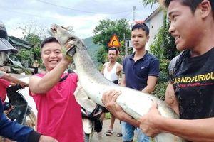 Ra xem nước lũ, người dân vớt được cá lệch 'khủng' nặng 16kg, dài gần 2 mét