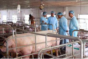Xuất hiện dịch bệnh tả lợn châu Phi tại Ninh Thuận