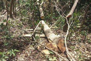 Để 'lâm tặc' ngang nhiên chở gỗ qua trạm bảo vệ rừng, Trạm trưởng bị điều chuyển công tác