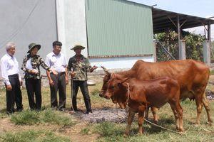 Phú Yên: Hỗ trợ bò giống cho hộ nghèo huyện Sông Hinh