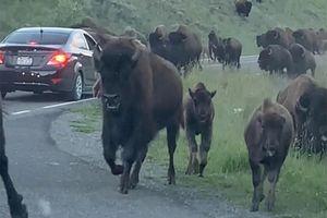 Hàng trăm con bò rừng hung dữ tấn công du khách
