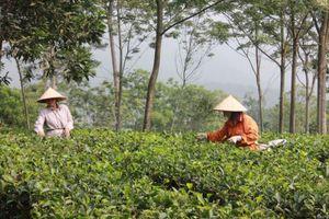 Xã Ba Trại: Xây dựng quy trình sản xuất chè bền vững