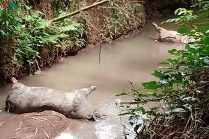 Dân kêu trời vì lợn chết đầy suối ở Bà Rịa-Vũng Tàu