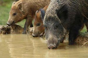 Đảo thiêng của Malaysia bị lợn rừng xâm lăng