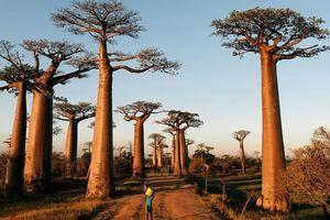 Vẻ đẹp siêu thực của đại lộ cây baobab ở Madagascar
