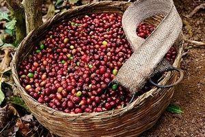 Giá cà phê hôm nay 8/9: Liên tục biến động trong tuần qua