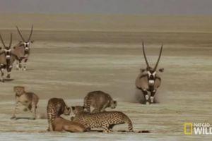 Tấn công linh dương sừng kiếm non, bầy báo săn bị rượt chạy trối chết