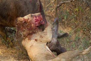 Khốc liệt những trận chiến kinh hoàng của động vật