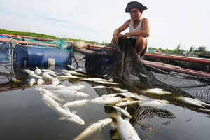 80 tấn cá chẽm chết trắng bất thường ở Hà Tĩnh