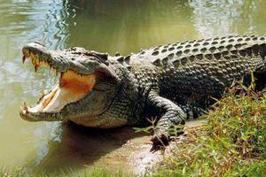 Cá sấu bơi trên sông, chính quyền huy động người tìm bắt