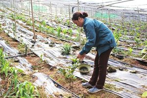 Sóc Sơn phát triển vùng cây dược liệu