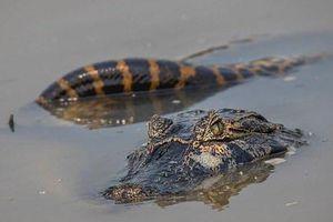 Trăn Anaconda khổng lồ đại chiến cá sấu dưới đầm lầy