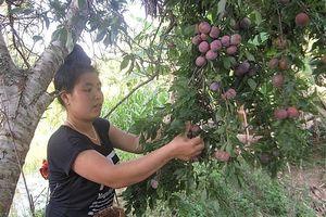 Mận Yên Châu: Chinh phục thị trường bằng chất lượng