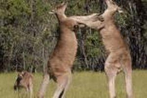 Kangaroo đánh nhau đến chết vì bản lĩnh đàn ông