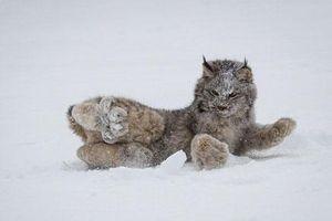 Chết mê với loài mèo có bàn chân khổng lồ siêu đáng yêu