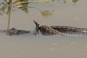 Cận cảnh cuộc chiến sinh tử nghẹt thở giữa trăn và cá sấu