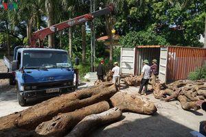 Lại hủy đấu giá gỗ sưa trăm tỉ ở thôn Phụ Chính do không ai đăng ký