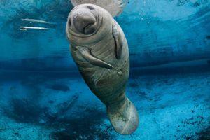 Loài lợn biển được mệnh danh đáng yêu nhất đại dương