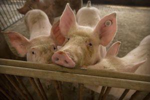 Trung Quốc mở kho thịt lợn đông dự trữ, đối phó tình trạng giá quá đắt