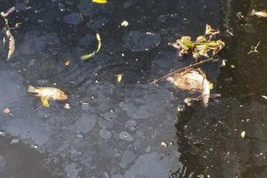 Nước sông Đào đen ngòm, bốc mùi hôi thối khiến cá chết nổi lềnh bềnh