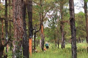Vụ 150 ha rừng thông bị xâm hại: Kiểm điểm Phó Chủ tịch huyện và nhiều cán bộ liên quan