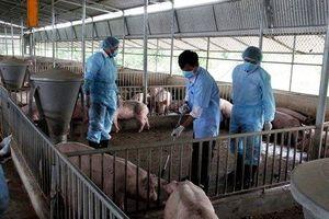 Ninh Thuận: Dịch tả lợn châu Phi đã lan rộng 3/7 huyện, thành phố
