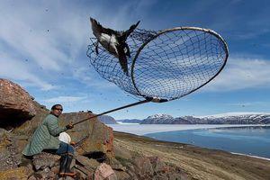 Bắt chim bằng vợt để làm món ăn bốc mùi kinh dị ở Greenland